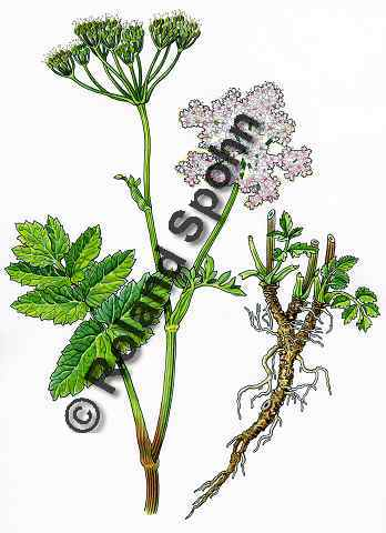 Pflanzenillustration Pimpinella major Illustration Grosse Bibernelle Aquarell Roland Spohn