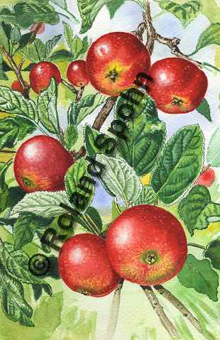 Illustration Aquarell: Malus domestica, Kultur-Apfel