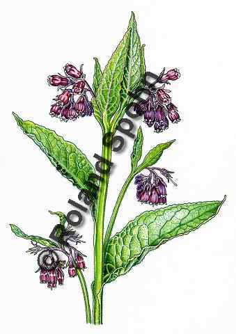 Pflanzenillustration Symphytum officinale Illustration Echter Beinwell Wallwurz Wilder Gomfrey Aquarell Roland Spohn