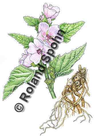 Pflanzenillustration Althaea officinalis Illustration Echter Eibisch Aquarell mit Tusche Roland Spohn