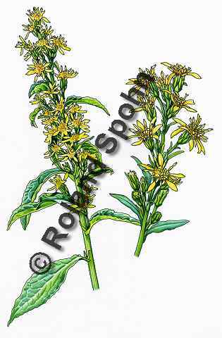 Pflanzenillustration Solidago virgaurea Illustration Echte Goldrute Aquarell Roland Spohn