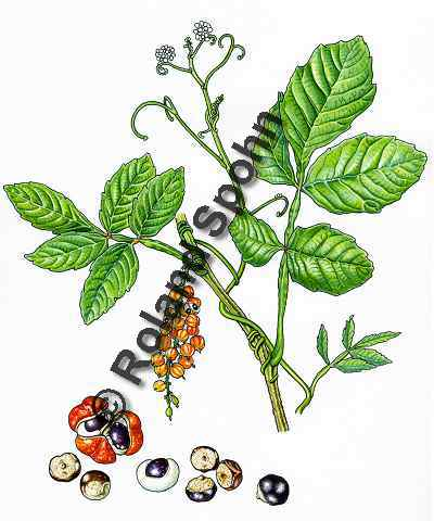 Pflanzenillustration Paullinia cupana Illustration Guarana Aquarell Roland Spohn