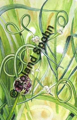 Pflanzenillustration Allium sativum Knob-Lauch Illustration Knoblauch Aquarell Roland Spohn