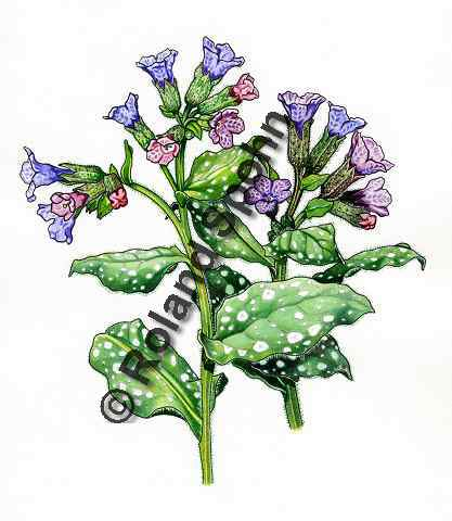 Pflanzenillustration Pulmonaria officinalis Illustration Echtes Lungenkraut Aquarell Roland Spohn