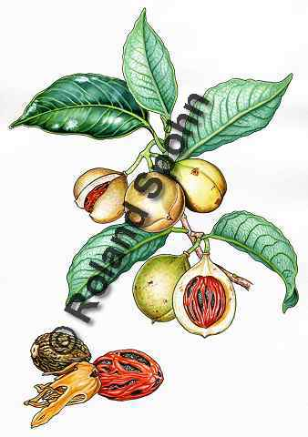 Pflanzenillustration Myristica fragrans Illustration Muskatnuss Aquarell Roland Spohn