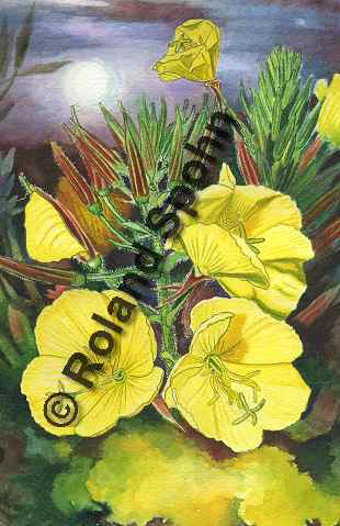 Illustration Aquarell: Oenothera biennies, Nachtkerze