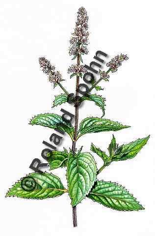 Pflanzenillustration Mentha piperita Illustration Pfeffer-Minze, Pfefferminze Aquarell Roland Spohn