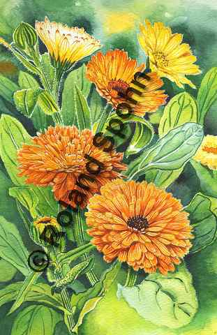 Illustration Aquarell: Calendula officinalis, Ringelblume