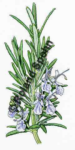 Pflanzenillustration Rosmarinus officinalis Illustration Rosmarin Aquarell Roland Spohn