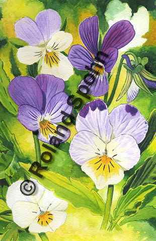Pflanzenillustration Viola tricolor Illustration Wildes Stiefm�tterchen Aquarell Roland Spohn