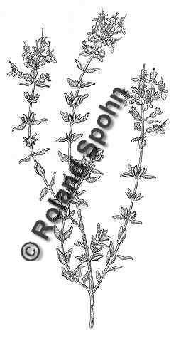 heil und nutzpflanzen illustrationen von dr roland spohn. Black Bedroom Furniture Sets. Home Design Ideas