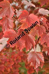 Rot-Ahorn 'October Glory', Rotahorn 'October Glory', Acer rubrum 'October Glory', Aceraceae, Acer rubrum 'October Glory', Rot-Ahorn 'October Glory', Rotahorn 'October Glory', Herbstfärbung Kauf von 07002_acer_rubrum_october_glory_dsc_0801.jpg